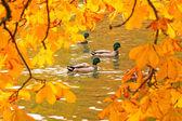 Ducks swimming across the pond — Stock Photo