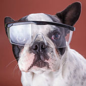 French bulldog wearing safety glasses — Stock Photo