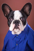 Adorable french bulldog wearing blue shirt — Stock Photo