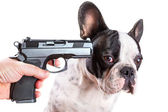 Gun pointed at sad french bulldog head — Stock Photo
