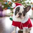 Stock Photo: French bulldog dressed up in santa costume