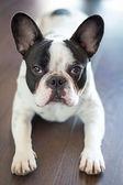 French bulldog on the floor — Stock Photo