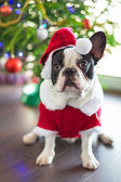 French bulldog dressed up in santa costume — Stock Photo