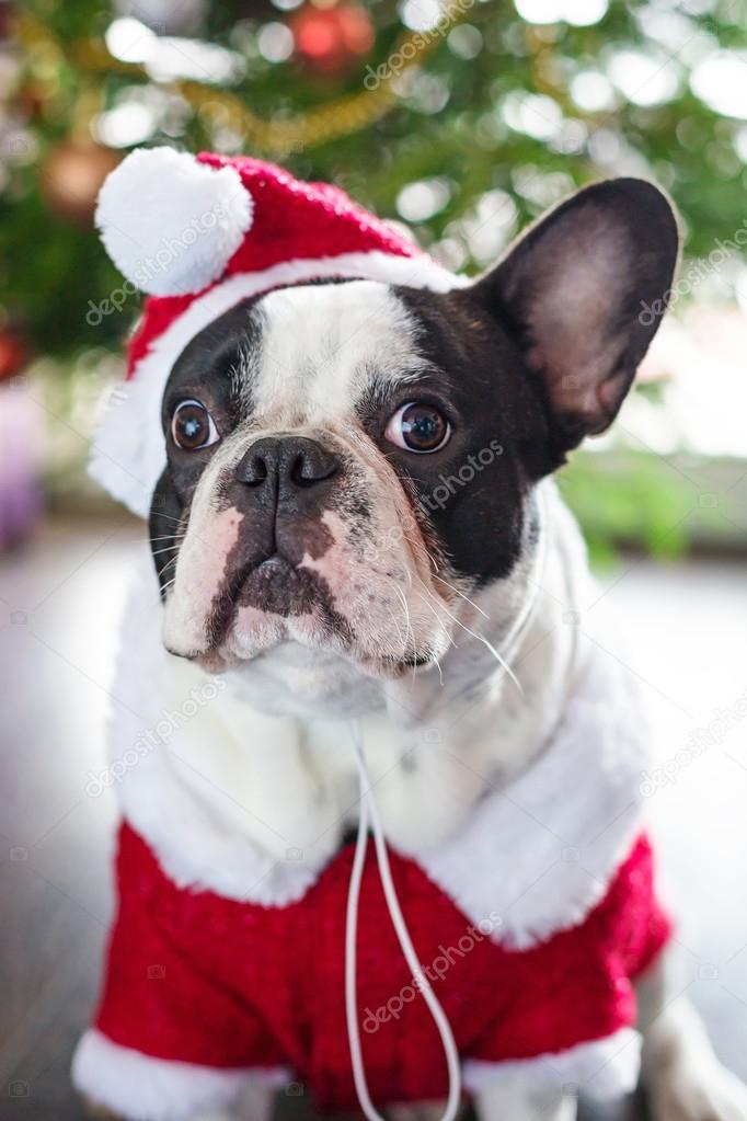 franz sische bulldogge in santa kost m verkleidet. Black Bedroom Furniture Sets. Home Design Ideas