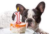 French bulldog on his first birthday — Stock Photo