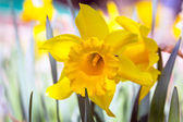 Daffodil spring flowers — Stock Photo