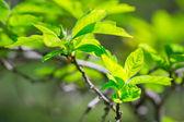 Beautiful green tree leaves — Stock Photo