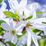 Blossoming magnolia tree — Stock Photo