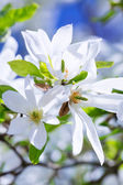 Blossoming magnolia tree — Stock Photo