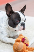 French bulldog with teddy bear — Stock Photo