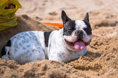 French bulldog on the beach — Stock Photo
