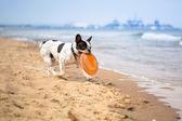 在海滩上的法国斗牛犬 — 图库照片