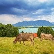 Cows on the meadow at Bavarian Alps — Stock Photo #50166295