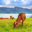 Cows on the meadow at Bavarian Alps — Stock Photo #50166377