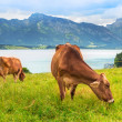 Cows on the meadow at Bavarian Alps — Stock Photo #50166413