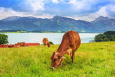 Cows on the meadow at Bavarian Alps — Stock Photo