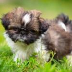 Shih tzu puppy — Stock Photo #51259815