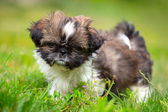 Shih tzu puppy — Stock Photo