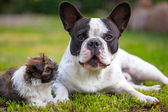 French bulldog and shih tzu puppy — Stock Photo
