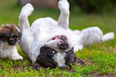 French bulldog and shih tzu puppy — Stock Photo