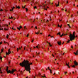 Red vine leaves — Stock Photo