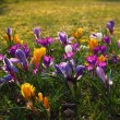 Crocus meadow — Stock Photo