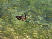 Duck in the water — Stock Photo