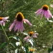 Echinacea — Stock Photo #34783061