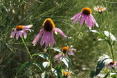 Echinacea — Stock Photo