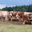Cows on pasture - Foto de Stock  