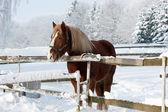 在冬天中的马 — 图库照片