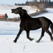 Black horse runs gallop — Stock Photo