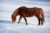Bir soğuk kış arazide ata — Stok fotoğraf