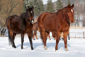 Herd of standing horses in the winter — Stock Photo