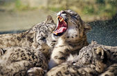Lying family of Snow Leopard Irbis (Panthera uncia)  — Stock Photo