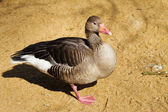 Greylag goose — Stock Photo