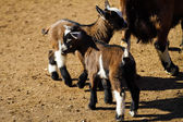 Baby kozy — Stock fotografie