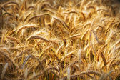 Golden ears of wheat on the field.  — Stock Photo