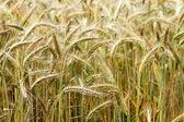 Oídos de oro del trigo en el campo. — Foto de Stock