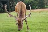Cervi al pascolo nel prato — Foto Stock