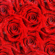 Backgrounds with red roses for Valentines — Stock Photo