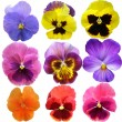 Pansies on White background - Stok fotoğraf