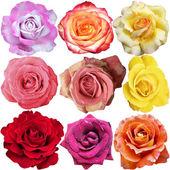 Róża kwitnie — Zdjęcie stockowe