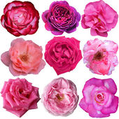 Set of 9 pink roses blooming — Stock Photo