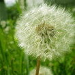 Dandelion seed outdoors — Stock Photo #26738951