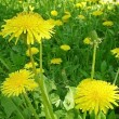 Yellow dandelion flowers — Stock Photo #26739011