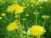 Yellow dandelion flowers — Stock Photo