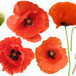 Set of field poppies. Isolated on white — Stock Photo