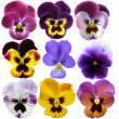 Stock Photo: 9 Pansies on White background