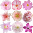 Set of Pink Flowers Isolated on White  — Stok fotoğraf